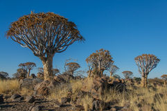 African landscapes - Quiver Tree Forest  Namibia Stock Images