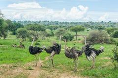 African landscapes - Tarangire NP Tanzania. African landscape, Ostriches at Tarangire National Park Tanzania Stock Images