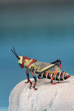 African large grasshopper sitting on the edge of the pool Royalty Free Stock Image