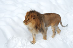 African Leo Stock Images