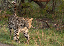 Free African Leopard Stock Images - 18416734