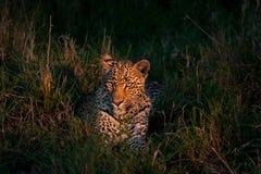 African leopard Stock Photos