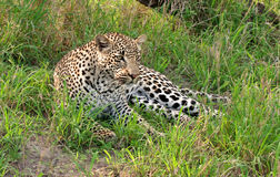 African leopard. Adult male african leopard lying down in grass in Sabi Sand nature reserve, South Africa Royalty Free Stock Images