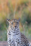 African leopard. Portrait of african leopard in Mana Pools NP, Zimbabwe stock images
