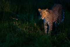 African leopard. At dusk standing on green grass lighted with a spotlight in Sabi Sand nature reserve in South Africa Royalty Free Stock Images
