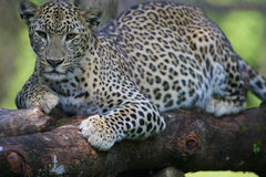 African Leopard. An African Leopard in the wild Royalty Free Stock Photos