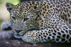 African Leopard. An African Leopard in the wild Stock Photo
