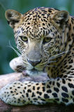 African Leopard Royalty Free Stock Photos