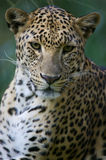African Leopard. An African Leopard in the wild Royalty Free Stock Images