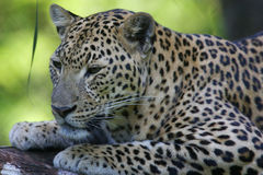 African Leopard. An African Leopard in the wild Stock Photography