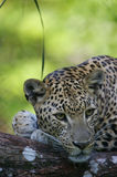 African Leopard. An African Leopard in the wild Royalty Free Stock Photo