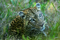 African Leopard Royalty Free Stock Photo