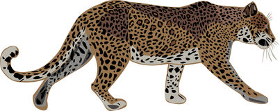 African leopard and Asian leopard vector illustration