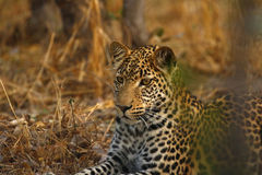 An African Leopard a Beautiful Big Cat Royalty Free Stock Photography