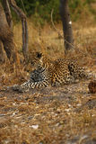 An African Leopard a Beautiful Big Cat Royalty Free Stock Image