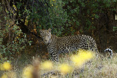 An African Leopard a Beautiful Big Cat Stock Images