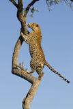 African Leopard climbing, South Africa. African Leopard (Panthera pardus) climbing tree in South Africa Royalty Free Stock Photos