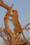African leopard climbing tree Stock Photo