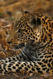 An African Leopard Close Up Stock Image