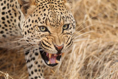 African leopard closeup Royalty Free Stock Image