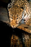African Leopard drinking at night in greater Kruger National Par Stock Photography