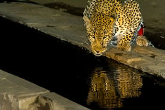 African Leopard drinking at night in greater Kruger National Par Stock Photo