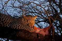 African Leopard Feeding Royalty Free Stock Photography