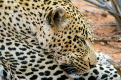 African Leopard in greater Kruger National Park, South Africa Royalty Free Stock Photography