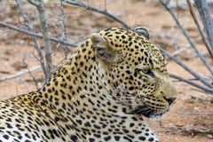 African Leopard in greater Kruger National Park, South Africa Royalty Free Stock Photos