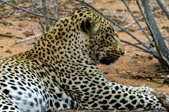 African Leopard in greater Kruger National Park, South Africa Royalty Free Stock Image