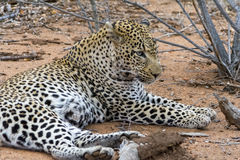 African Leopard in greater Kruger National Park, South Africa Stock Image