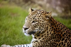 African leopard on green grass. African leopard on resting over green grass stock photography