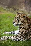 African leopard on green grass. African leopard on resting over green grass stock images