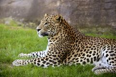 African leopard on green grass Stock Photo