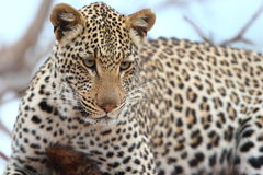 African Leopard Stock Photography