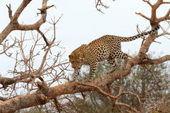 African Leopard Royalty Free Stock Images