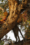 African Leopard high in a flowering Rain tree Royalty Free Stock Photo
