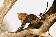 African Leopard high in a tree Royalty Free Stock Images