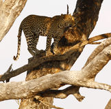 African Leopard high in a tree Stock Photos