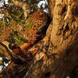 African Leopard high in a tree Stock Image
