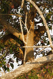 African Leopard high in a tree Royalty Free Stock Photo