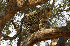 African Leopard high in a tree Royalty Free Stock Image