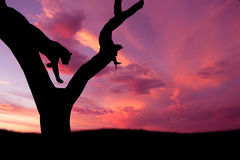 African leopard jumping down tree silhouette. African leopard jumping down from tree against pink purple sunset sky Royalty Free Stock Image