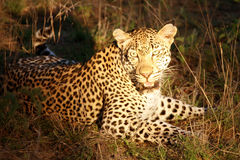African leopard. Kruger Park Stock Photos