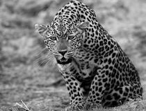 Black and white image of a Wild African Leopard getting ready to pounce - South Luangwa National Park, Zambia. African Leopard Panthera Pardus crouching down and Stock Photos