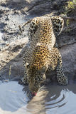 African Leopard (Panthera pardus) drinking South Africa Stock Photo