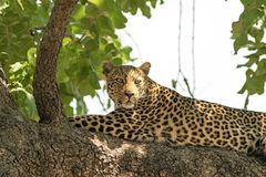 Arican leopard resting in a tree in south luangwa Royalty Free Stock Image