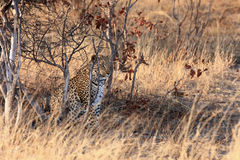 The african leopard Panthera pardus pardus in the bush. The african leopard Panthera pardus pardus sitting hidden in the dense bush at sunrise stock images