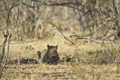 African leopard ( Panthera pardus pardus ) Stock Image
