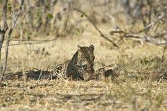 African leopard ( Panthera pardus pardus ) Stock Images